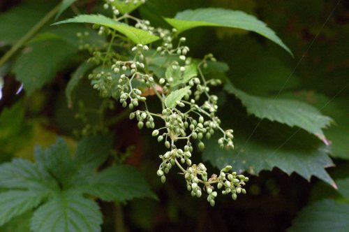 Male hop flower